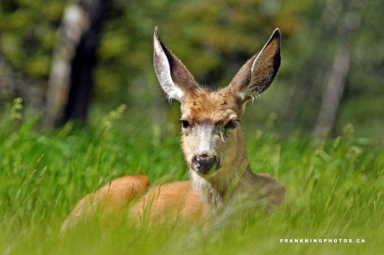 Deer Web1