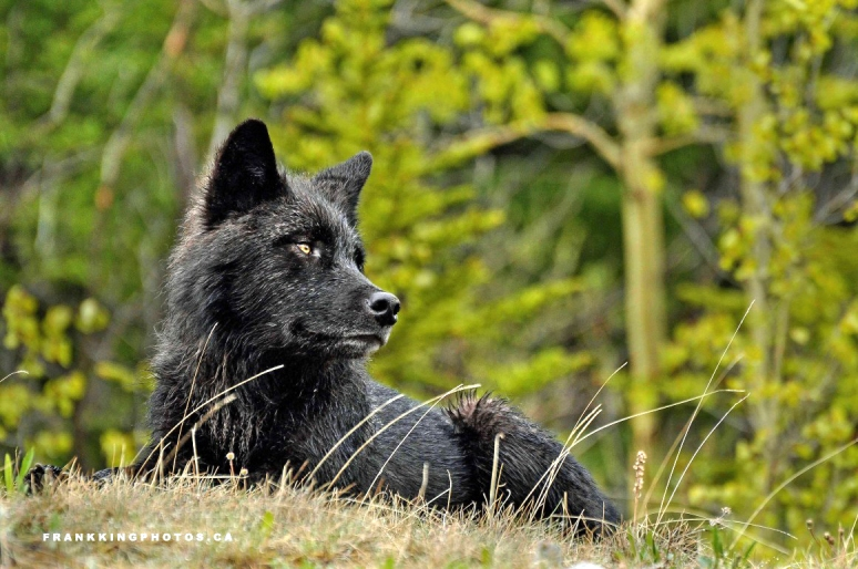wolf-web21