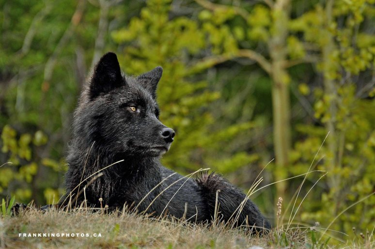 1. Wolf web2