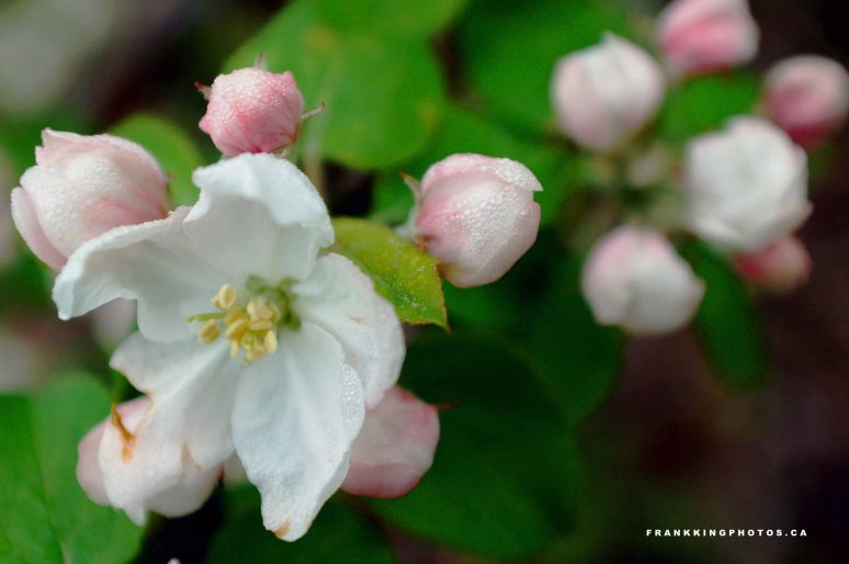 Greenwood Apple Blossoms