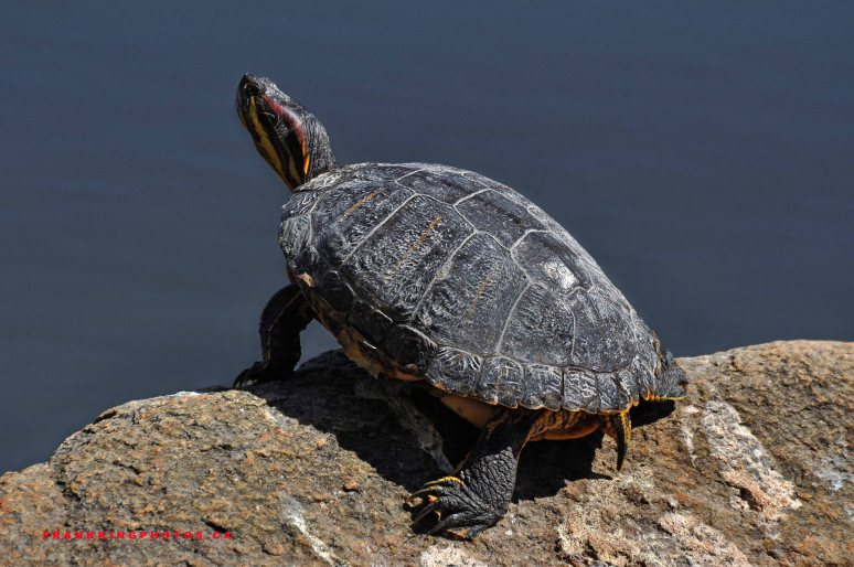 Stanley Park turtle, Vancouver