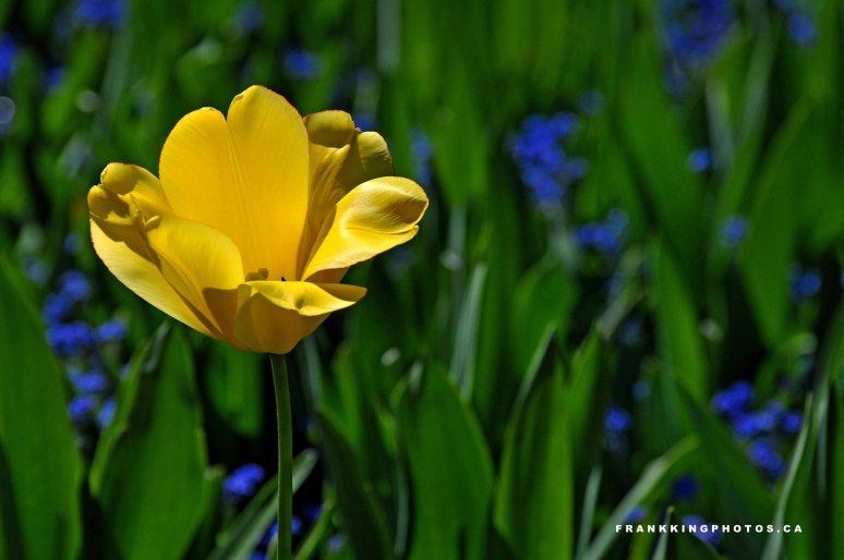 TulipWeb1