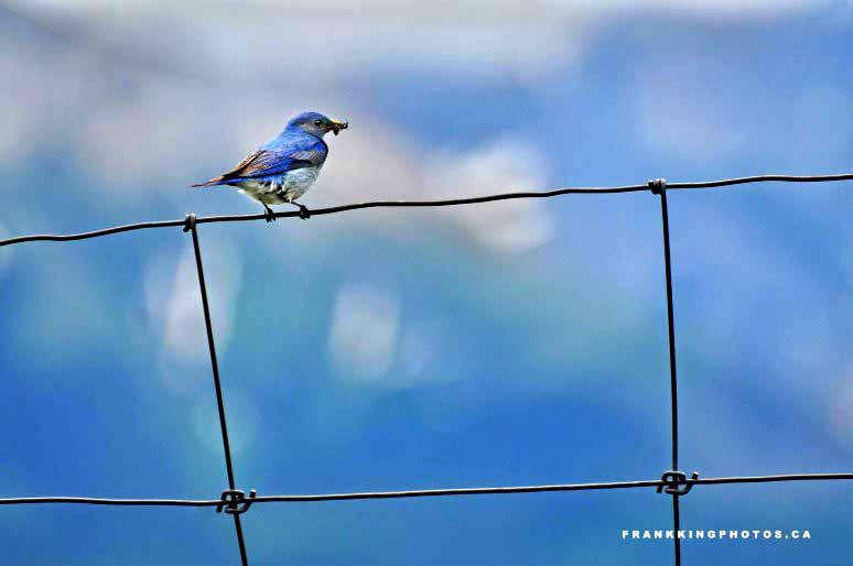 Bluebird Canada Rockies
