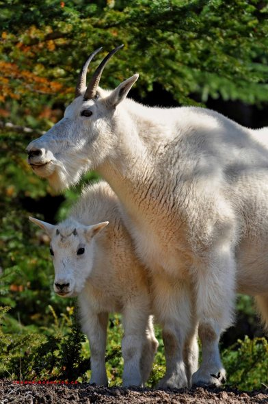 Goats, Jasper National Park, Alberta