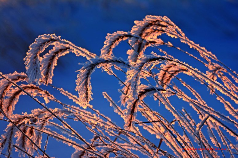 Cochrane Grass