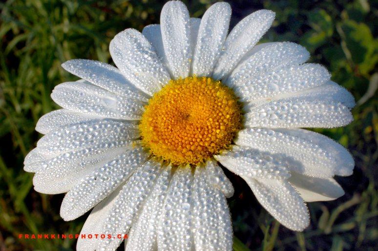 Daisy Web1