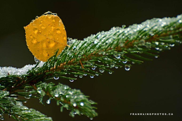 Banff apsen leaf