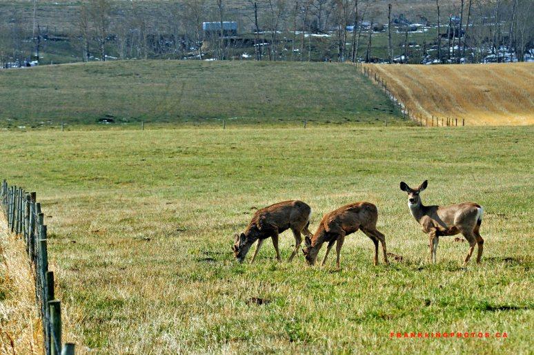 Deer wildlife Alberta Canada