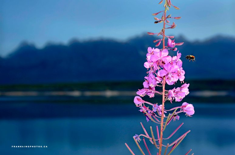 Bee fireweed Rocky Mountains