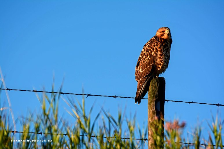 Hawk Canada Alberta wildlife