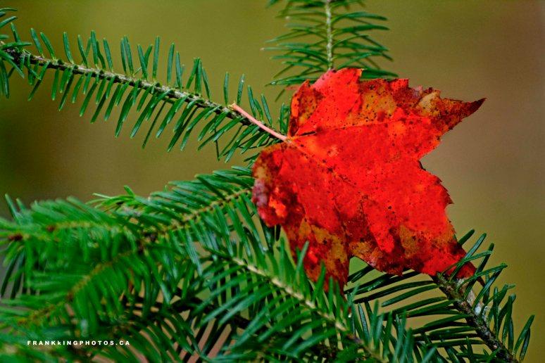 DeepRiver autumn leaf Canada Ontario