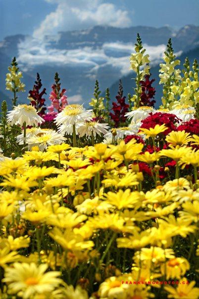 Lake Louise flowers Canada Banff