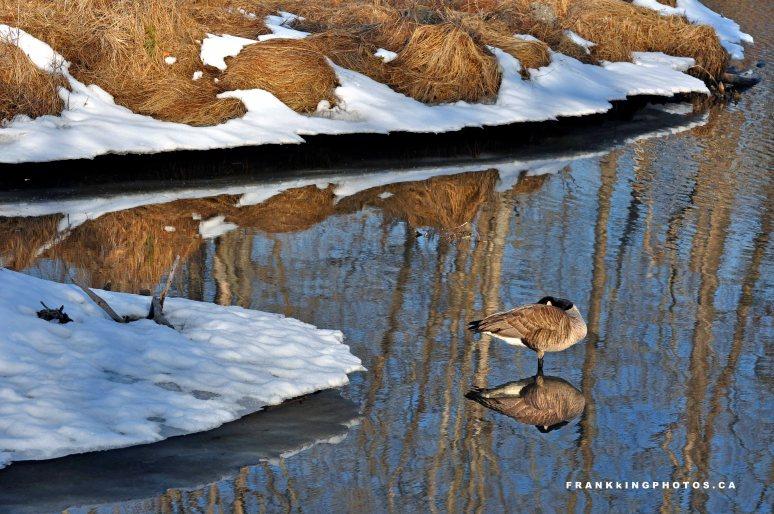 Canada goose, Calgary, Canada, spring