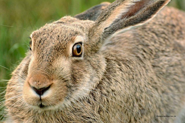 Hare rabbit Canada