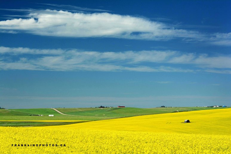 Canola Canada yellow summer Alberta