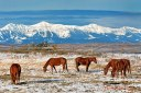 Horses Alberta Rockies