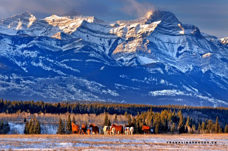 Horses winter Canada Rockies