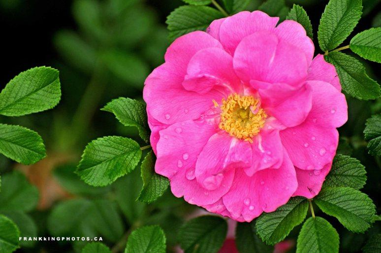 Ottawa roseWeb1
